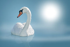 Swan on calm water surface Royalty Free Stock Photos