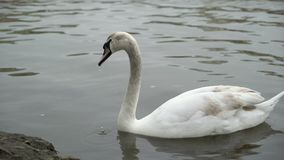 Swan in calm water. Swimming stock footage
