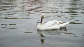 Swan in calm water. Swimming stock video footage
