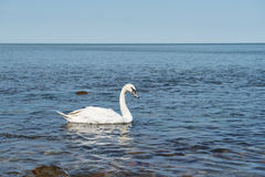 Swan in calm water Stock Images