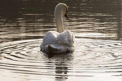 A swan in the centre of a circle of water in the morning sunshine royalty free stock photo