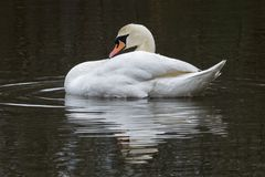 A swan in the centre of a circle of water on the Ornamental Pond royalty free stock image