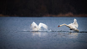 Swan Chasing Another Swan On Blue Water Stock Photography