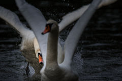 Swan Chasing Another stock image