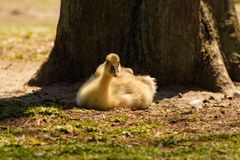 Signet resting under tree. A signet or baby swan resting on the ground under the shade of a tree Stock Photo