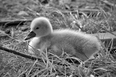 Swan Chick Royalty Free Stock Image