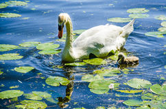 Swan with chick Royalty Free Stock Photo