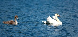 Swan with chick Stock Image