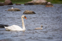 Swan and chick Royalty Free Stock Photos