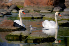 Swan chick with parents Royalty Free Stock Photos