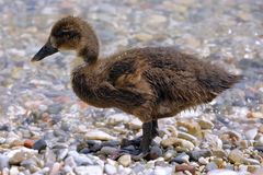 A swan chick Stock Photos