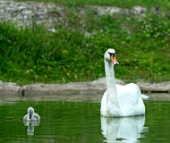 Swan chick Royalty Free Stock Photography