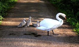 Swan with chicks Royalty Free Stock Images