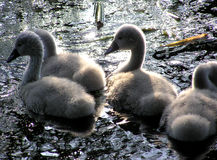 Swan chicks Royalty Free Stock Photography