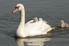 Swan with chicks Stock Photography