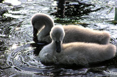 Swan chicks 2. Lake Glebokie in Szczecin.OLYMPUS DIGITAL CAMERA stock image