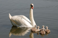Swan with chicks. Is very amusing moment Royalty Free Stock Photos