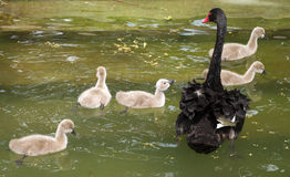 Swan and chicks Royalty Free Stock Photography