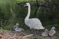 Swan with chicks - Natural Reserve Danube Delta, landmark attraction in Romania. Danube river Stock Photo