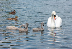 Swan with chicks and a ducks. Royalty Free Stock Photos