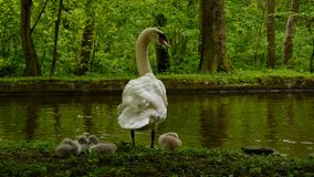 Swan with chicks Stock Image