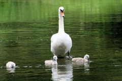 Swan with chicks Royalty Free Stock Photos