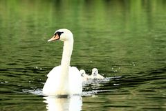 Swan with chicks Royalty Free Stock Photography