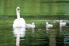 Swan with chicks Stock Photos