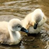 Swan chicks Royalty Free Stock Photo