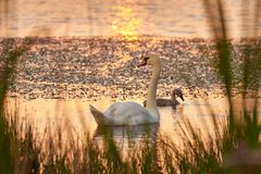 Swan and chicks on the lake in the rays of sunset stock image