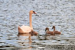 Swan and chicks on the lake in the rays of sunset stock photo