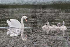 Swan and chicks on the lake. Swans are birds of the family Anatidae within the genus Cygnus. The swans` close relatives include the geese and ducks. Swans are royalty free stock photography