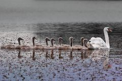 Swan and chicks on the lake. royalty free stock photos