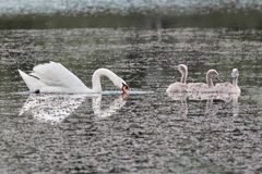 Swan and chicks on the lake. stock photos