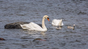 Swan and chicks Stock Images