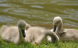 Swan chicks near a pond stock image