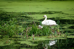 Swan and chicks in nest Stock Photos