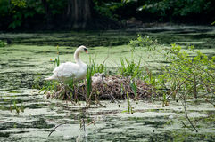 Swan and chicks in nest Stock Photo