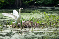 Swan and chicks in nest Royalty Free Stock Photos