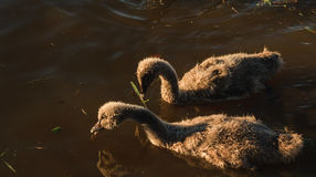 Swan chicks Royalty Free Stock Images