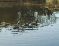 Swan chicks Royalty Free Stock Photo