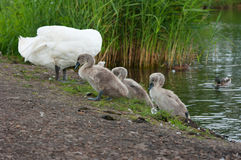 Swan and chicks on the shore. Stock Photos