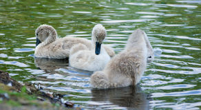 Swan and chicks on the shore. Royalty Free Stock Photography