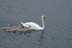 Swan and chicks Stock Photos
