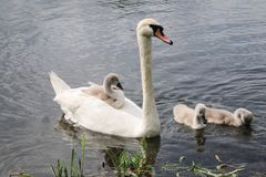 Swan family on the pond royalty free stock images