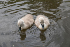 Swan chicks Royalty Free Stock Image