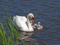 Swan with chicks on the water