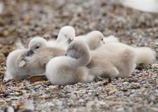 Swan, Chicks, Young Animals, Swans Royalty Free Stock Photos