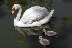 Swan with chicks Royalty Free Stock Image
