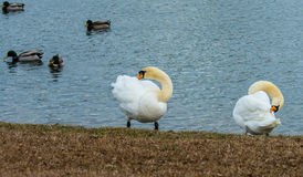 SWAN CHOREOGRAPHY. TWO MUTE SWANS GROOMING TOGETHER ON THE EDGE OF A POND WITH DUCKS IN THE BACKGROUND Stock Images